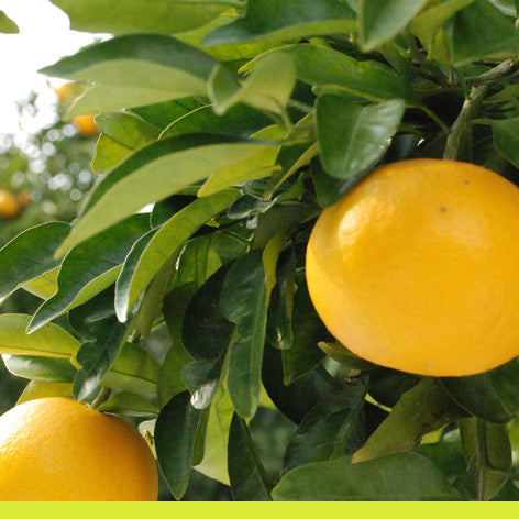 No 9. French Citrus -- Fresh, green floral -- 100% pure natural -- from Grasse