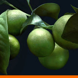 No 12. Italian Bergamot - Citrus - 100% pure natural essential oils and botanicals