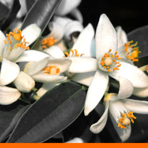 No 14. Happy Blossom -- Orange Blossom