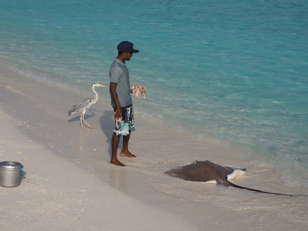 Banyan Tree, Vabbinfaru, Maldives- - Stingray feeding