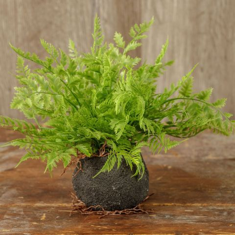 FERN WITH ROOTED BALL 11.5""