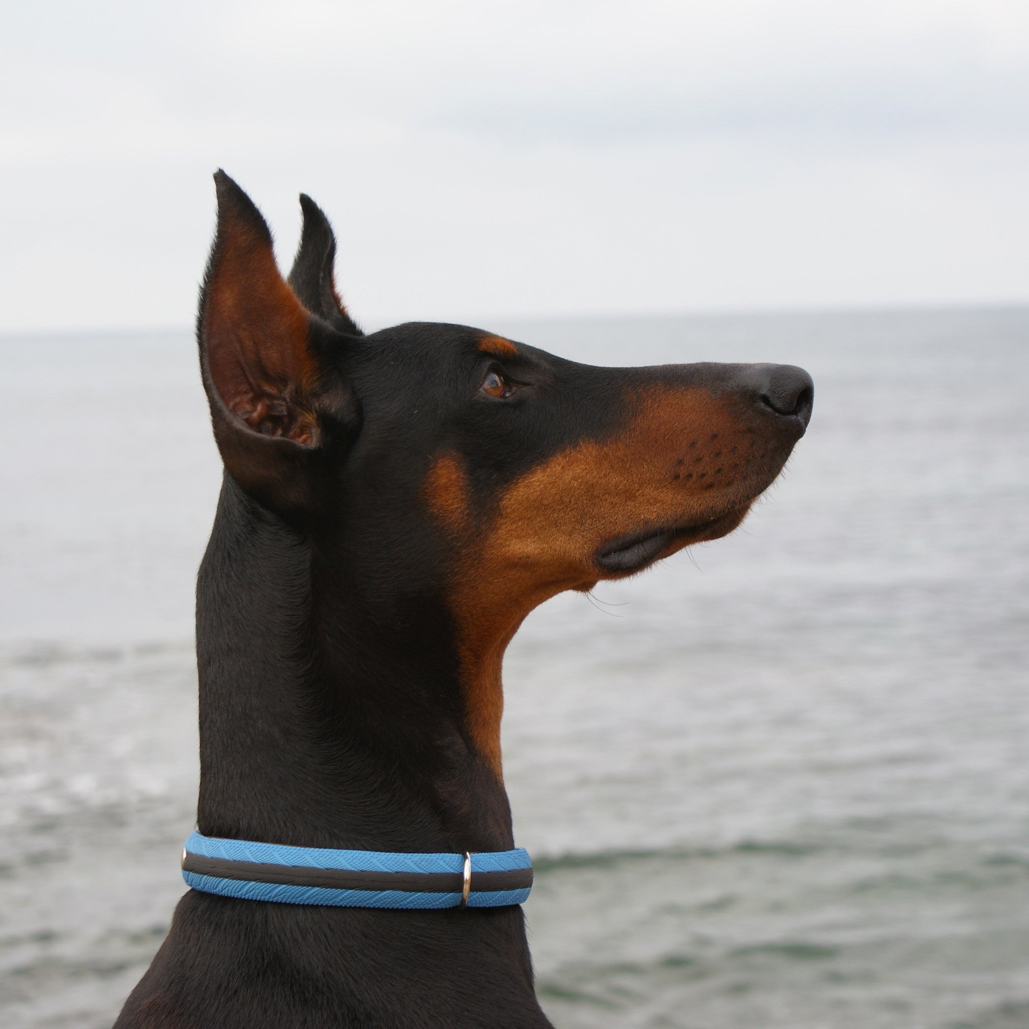 Blue Road Dog collar