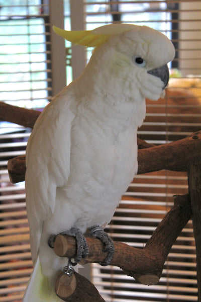 Buying a gently used Cockatoo (aka re-homing with a fee)