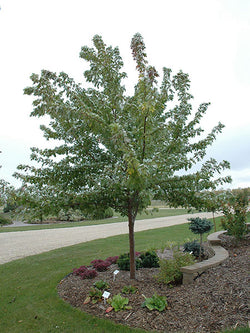 Acer - Silver Cloud Maple 10 Gallon