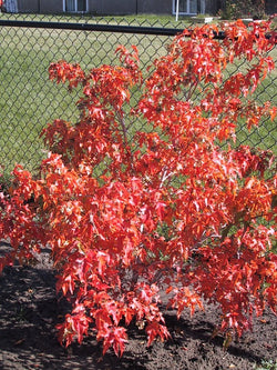 Acer - Flame Amur Maple