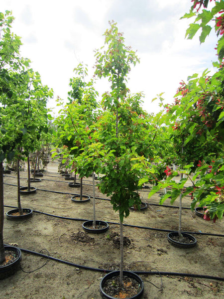 Acer Hot Wings Maple Calgary Plants Online Garden Centre