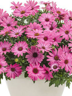African Daisy - Bright Lights™ Berry Rose