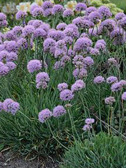 Onion, Ornamental - Blue Eddy