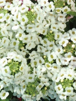 Alyssum - Easter Bonnet White