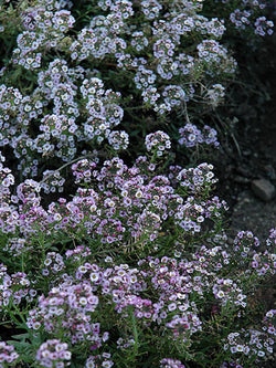 Alyssum - Clear Crystal Lavender Shades