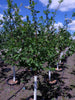 Prunus - Amur Cherry