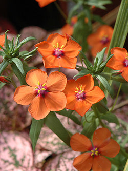 Anagallis - Wildcat Mandarin Orange
