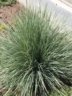 Andropogon - Big Blue Stem Grass