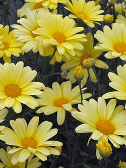 Argyranthemum - Beauty Yellow Marguerite Daisy