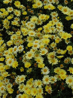 Argyranthemum - Butterfly Yellow Marguerite Daisy