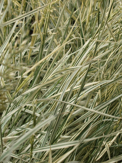 Arrenatherum - Bulbous Oat Grass