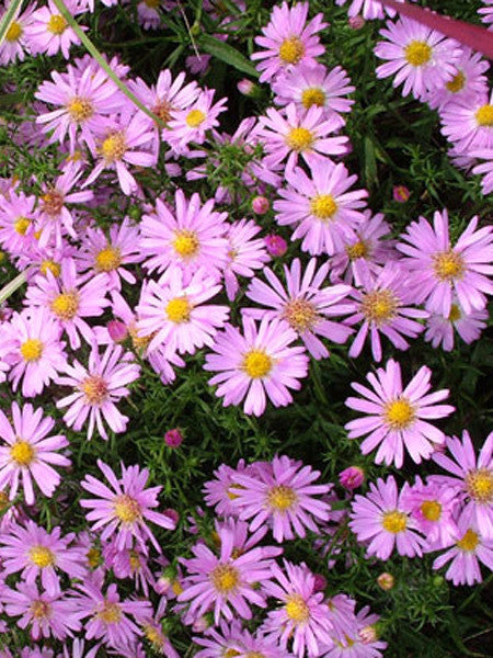 aster  woods pink aster  calgary plants online garden centre, Beautiful flower