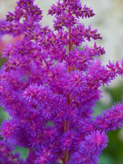Astilbe - Black Pearls