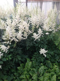Astilbe - Diamond