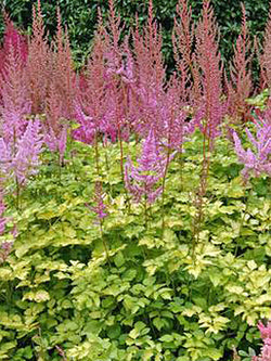 Astilbe - Colour Flash Lime
