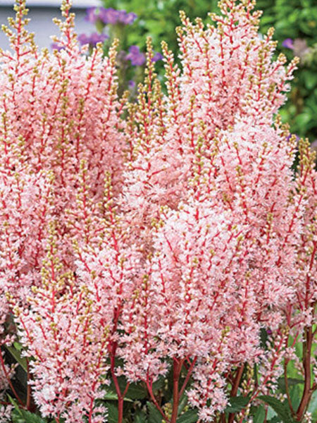 Astilbe - Look at Me False Spirea