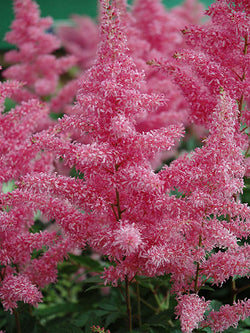 Astilbe - Rhythm & Blues