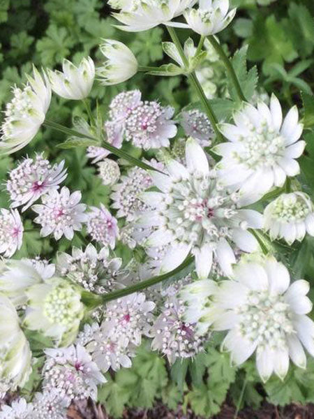 Astrantia - Star of Billion Masterwort