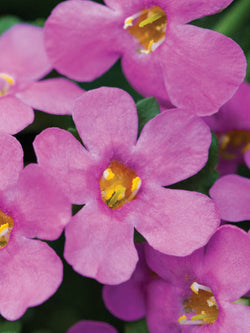 Bacopa - Epic™ Pink