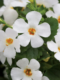 Bacopa - Epic™ White