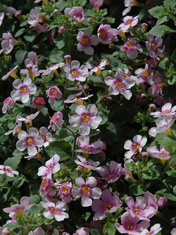 Bacopa - Scopia® Great Pink Ring