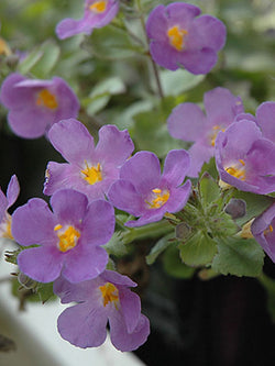 Bacopa - Scopia® Gulliver Blue