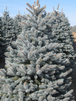 Picea - Bakeri Spruce - Special Order 7-10 business days