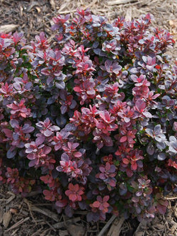 Berberis - Concorde Barberry
