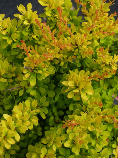 Berberis - Sunsation Barberry