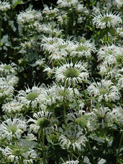 Bee Balm - Snow White
