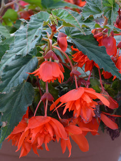 Begonia - Belleconia Hot Orange