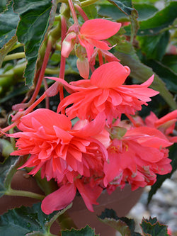 Begonia - Belleconia Rose