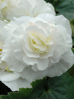 Begonia - Nonstop White