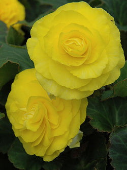 Begonia - Nonstop Yellow