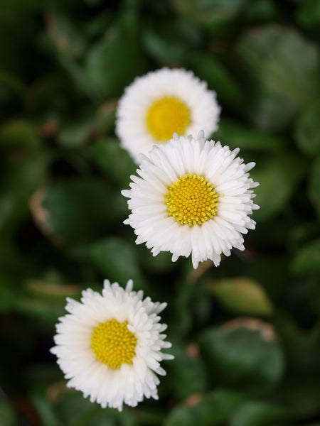 Bellis - White English Daisy
