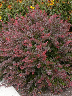Berberis - Cherry Bomb Barberry 2 Gallon