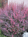 Berberis - Rose Glow Barberry - Special Order 7-10 business days