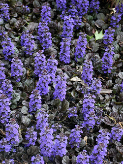 Bugleweed - Black Scallop