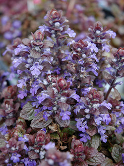 Bugleweed - Bronze Beauty