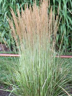 Grass - Avalanche Variegated Reed, 2 Gallon