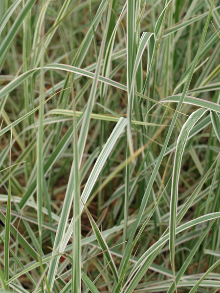 Calamagrostis - Overdam Variegated Feather Reed Grass