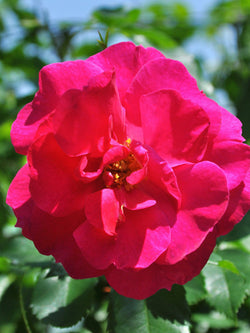 Rosa - Captain Samuel Holland Rose