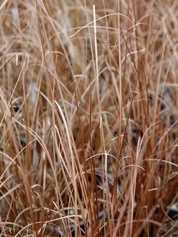 Annual Grass - Red Rooster Sedge