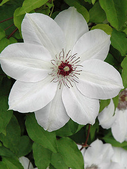 Clematis - Henry