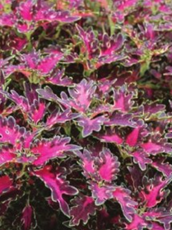 Coleus - Wildfire™ Smoky Rose